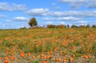 Pumpkin Field